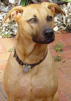 A photo of an Indian breed Combai dog