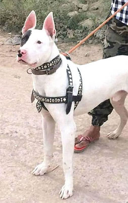 A photo of an Indian breed Gull Terrier dog