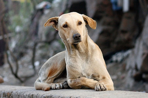 A photo of an Indian breed pariah dog