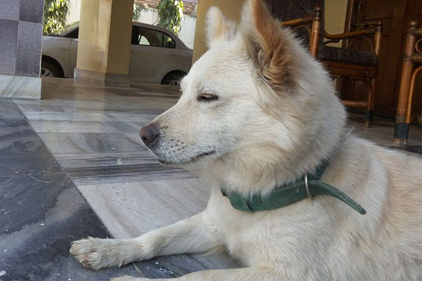 A photo of an Indian breed Spitz dog