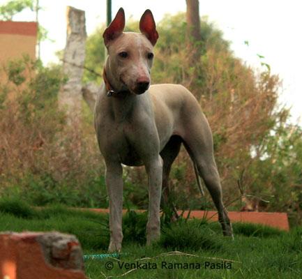 A photo of an Indian breed Jonangi dog