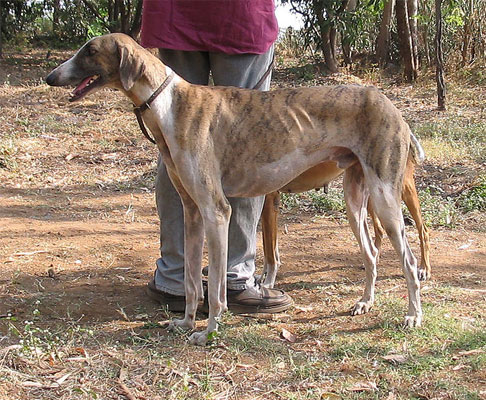A photo of an Indian breed Mudhol hound dog