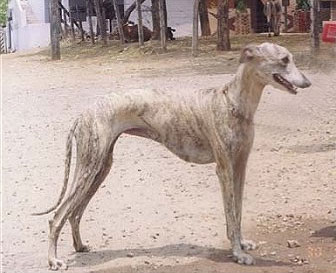 A photo of an Indian breed Rampur Greyhound