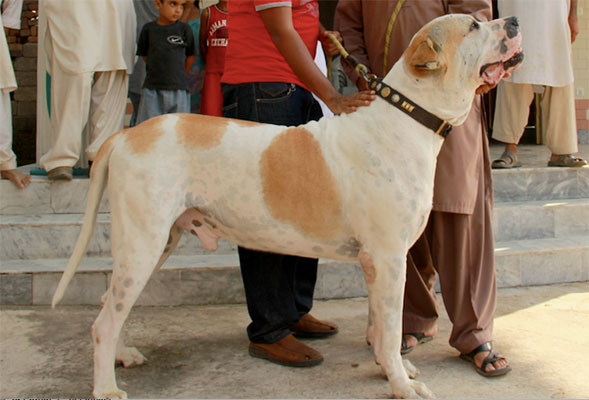 A photo of an Indian breed Bully Dog.